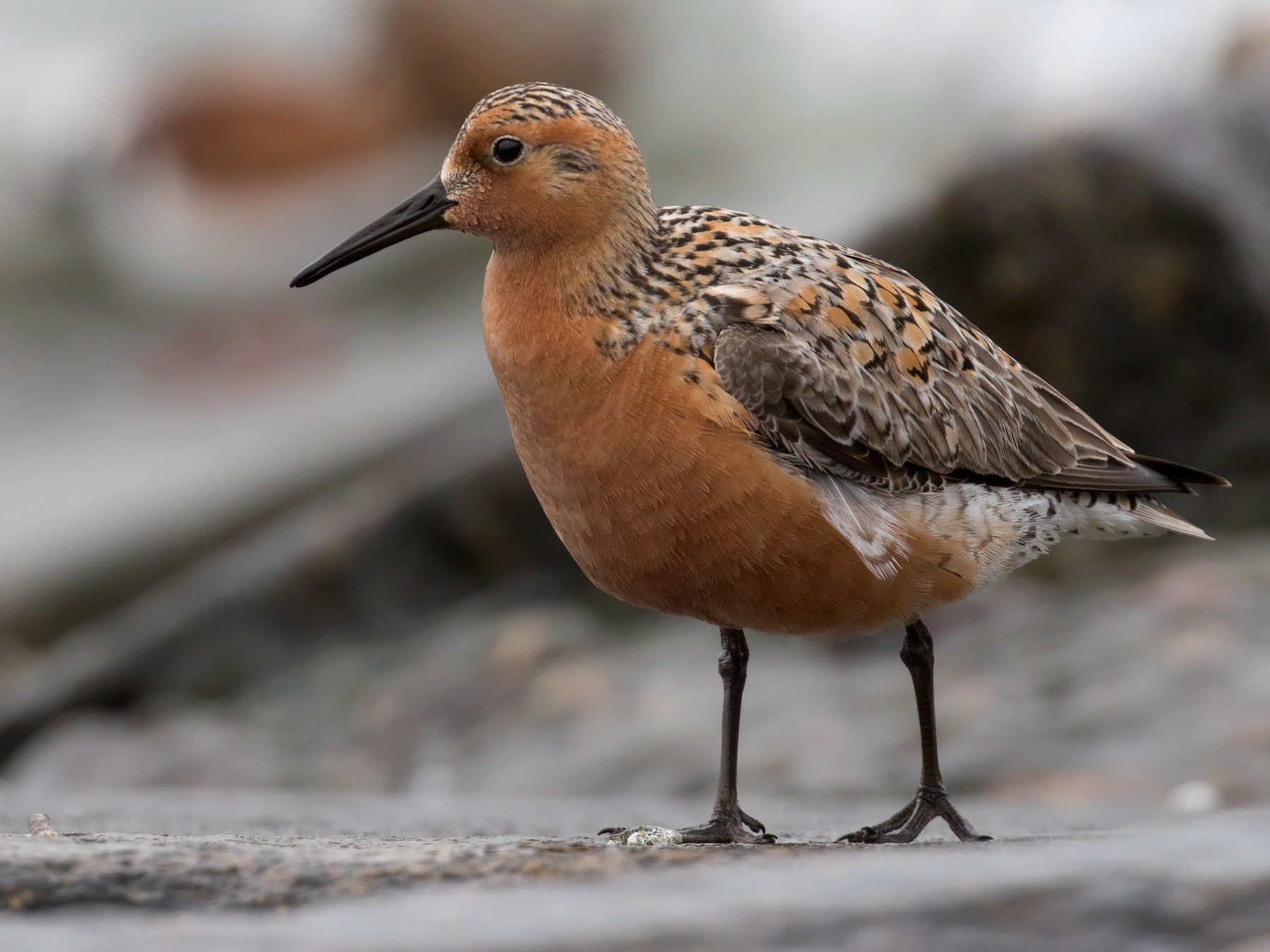 Red Knot - Mark R Johnson