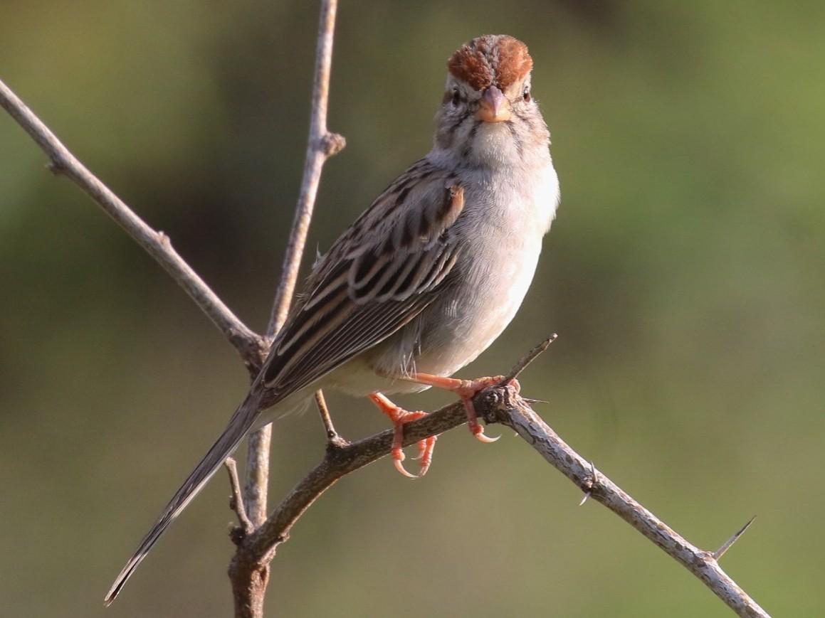 Rufous-winged Sparrow - Knut Hansen