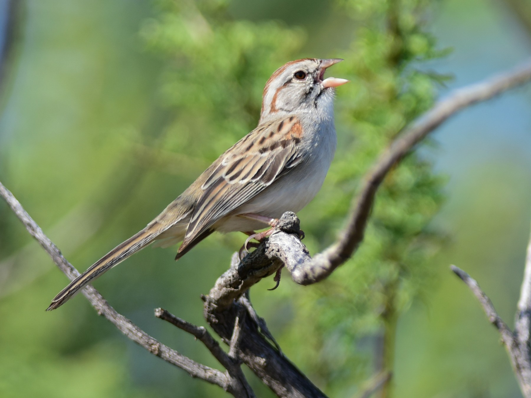 Rufous-winged Sparrow - Mike Charest