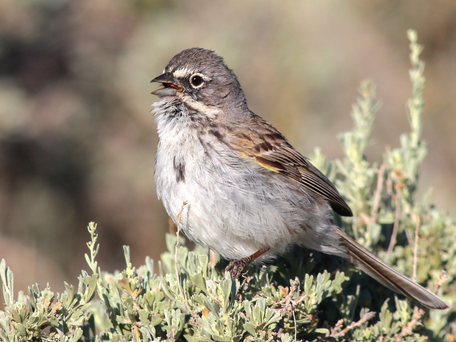 Sagebrush Sparrow - Shawn Billerman