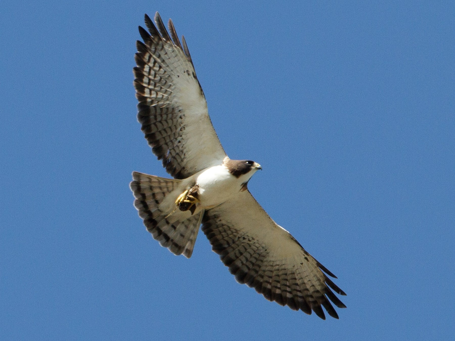 Short-tailed Hawk - Brian Sullivan