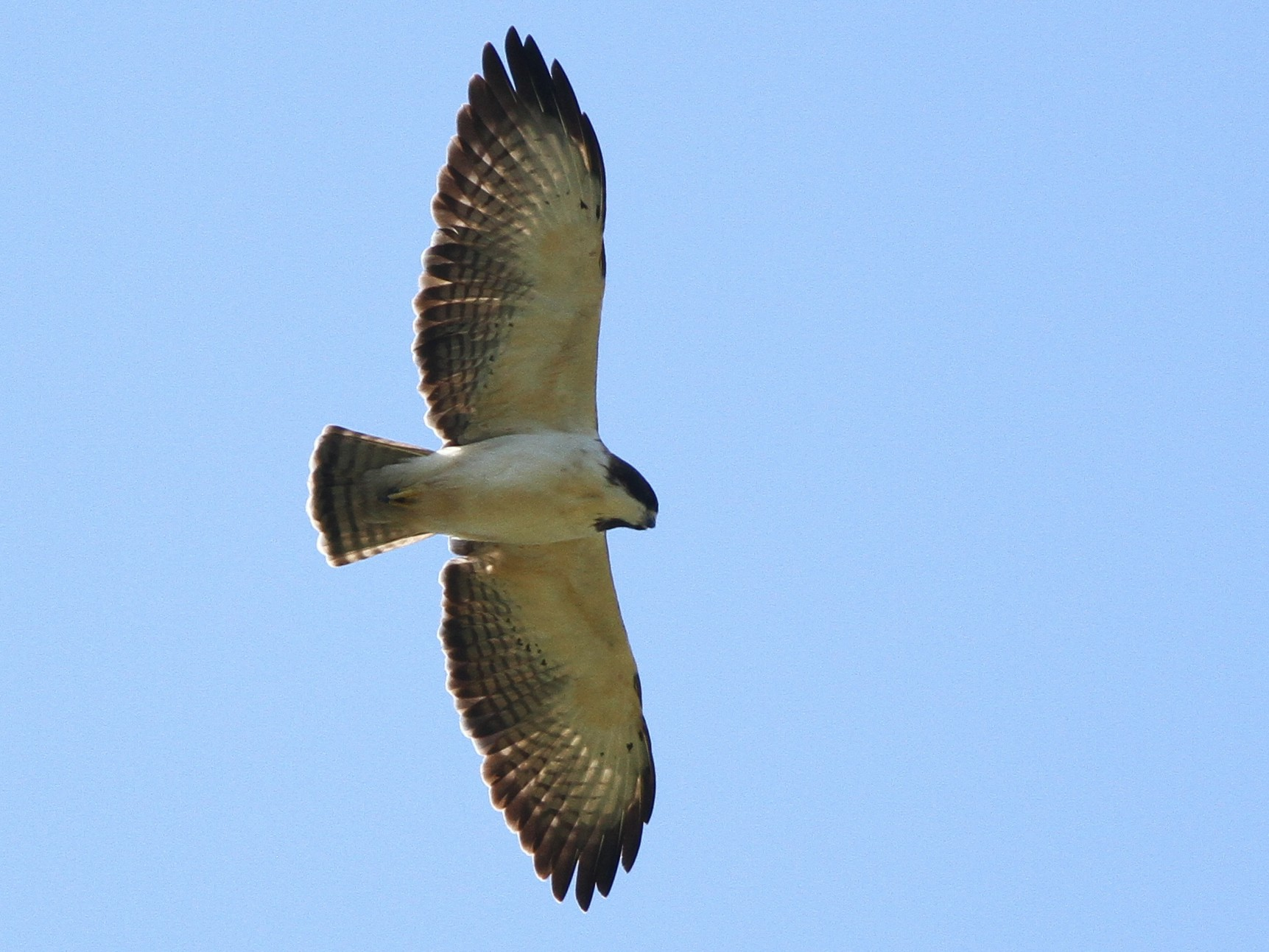 Short-tailed Hawk - Alex Lamoreaux