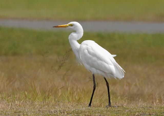 Intermediate Egret (Plumed)