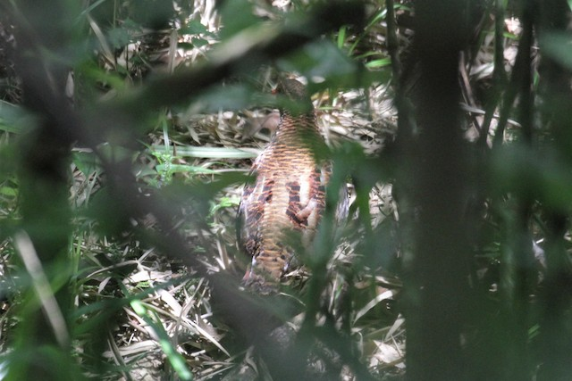 Udzungwa Partridge