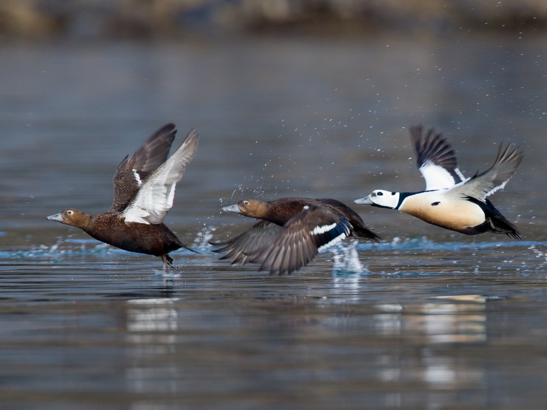 Steller's Eider - Chris Wood