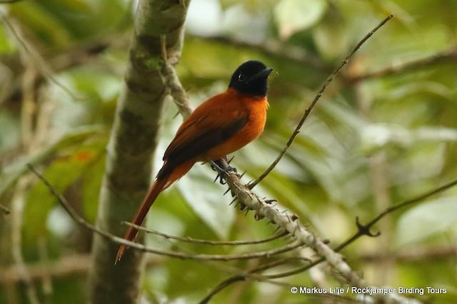 Black-headed Paradise-Flycatcher (Red-bellied)