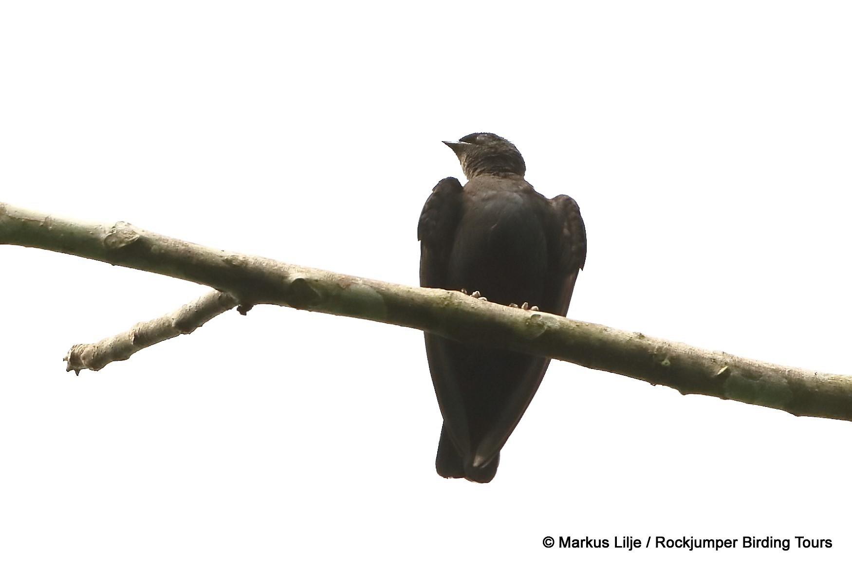 Square-tailed Sawwing - Markus Lilje