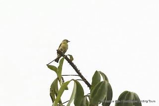 - Forest Penduline-Tit