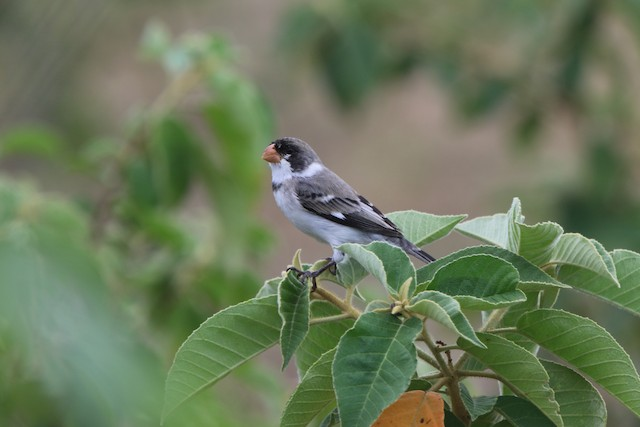 White-throated Seedeater