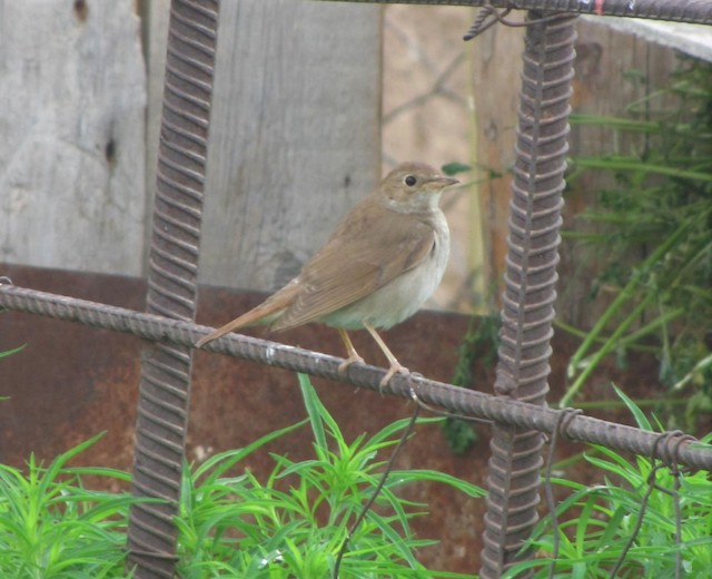 Common Nightingale (golzii)