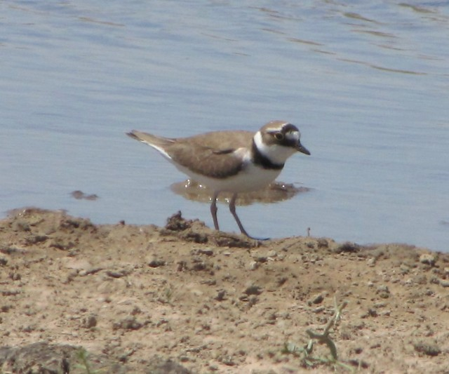 Little Ringed Plover (curonicus)