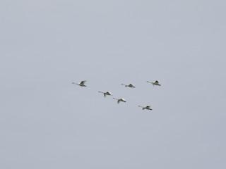Trumpeter Swan, ML71147341