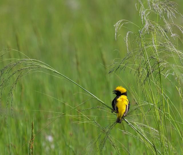 Yellow-crowned Bishop