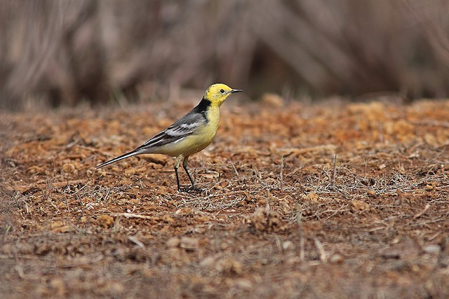 Citrine Wagtail (Gray-backed)