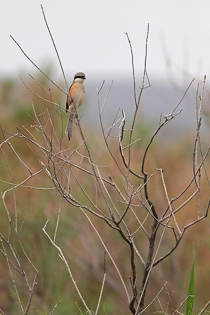 Long-tailed Shrike (erythronotus/caniceps)