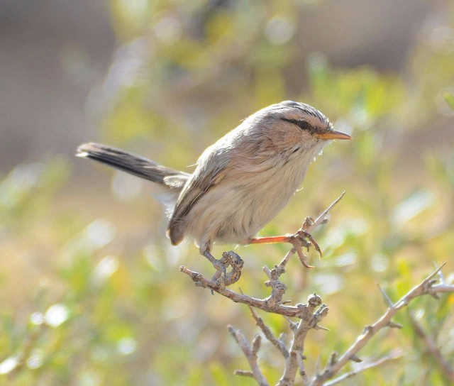 Scrub Warbler (Eastern)