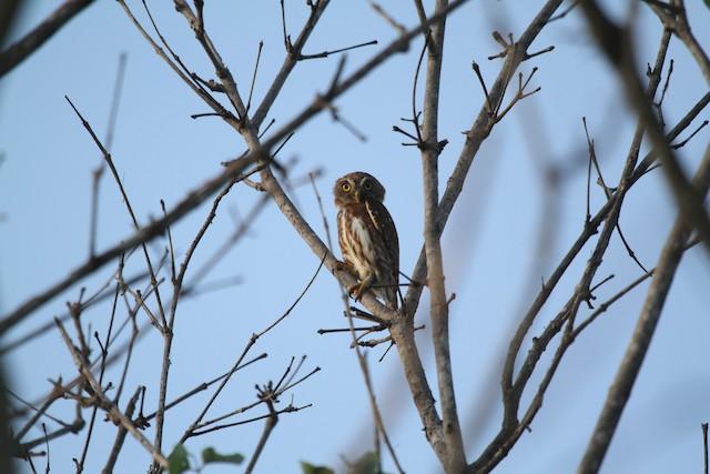 Ferruginous Pygmy-Owl (Ferruginous)