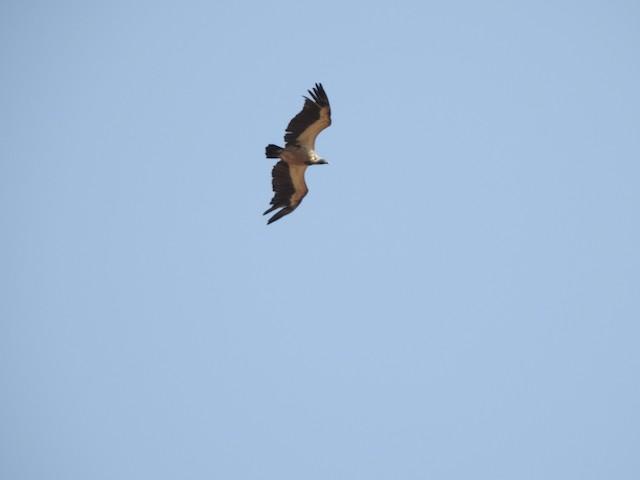 Cape Griffon