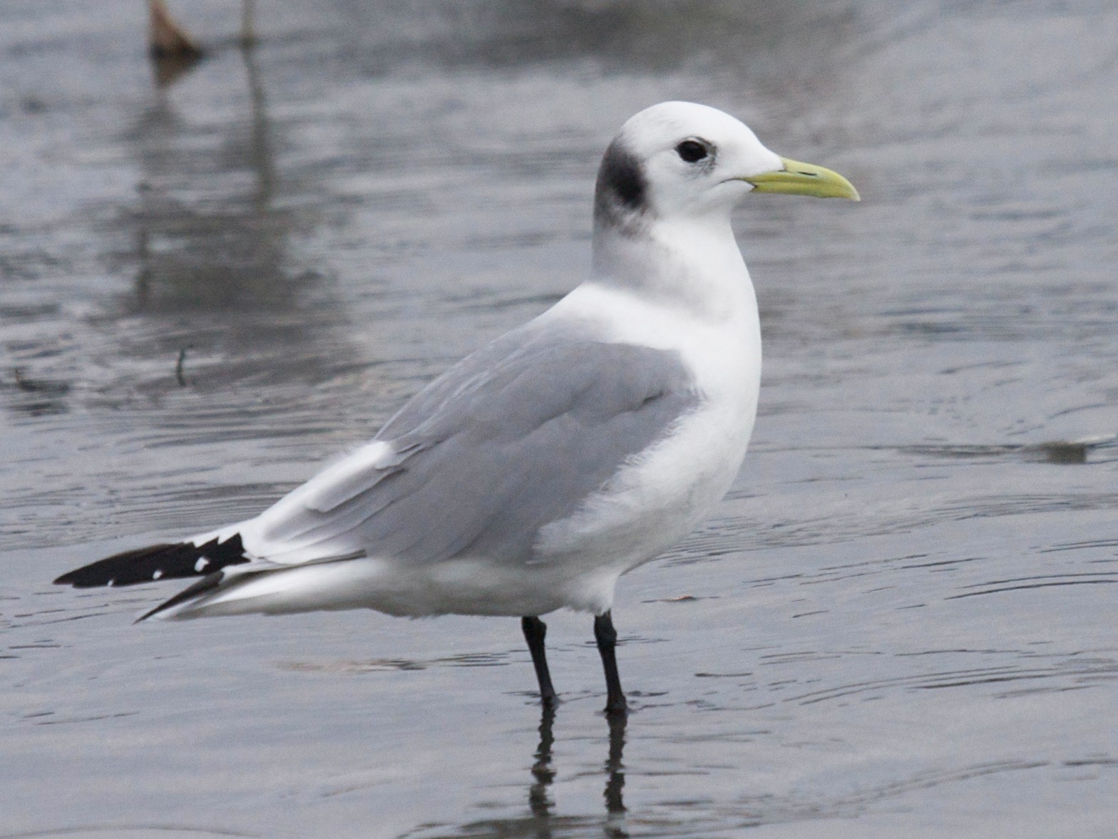 Black-legged Kittiwake - Matt Brady