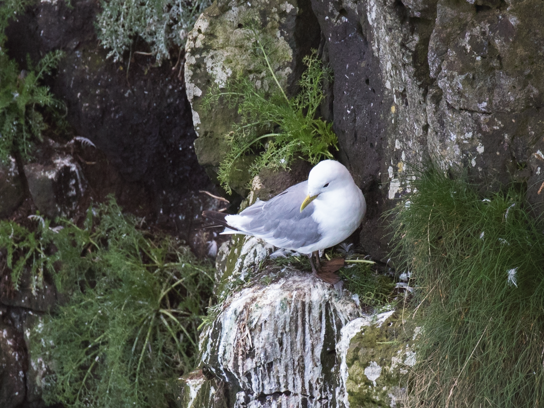 Black-legged Kittiwake - Nick Dorian