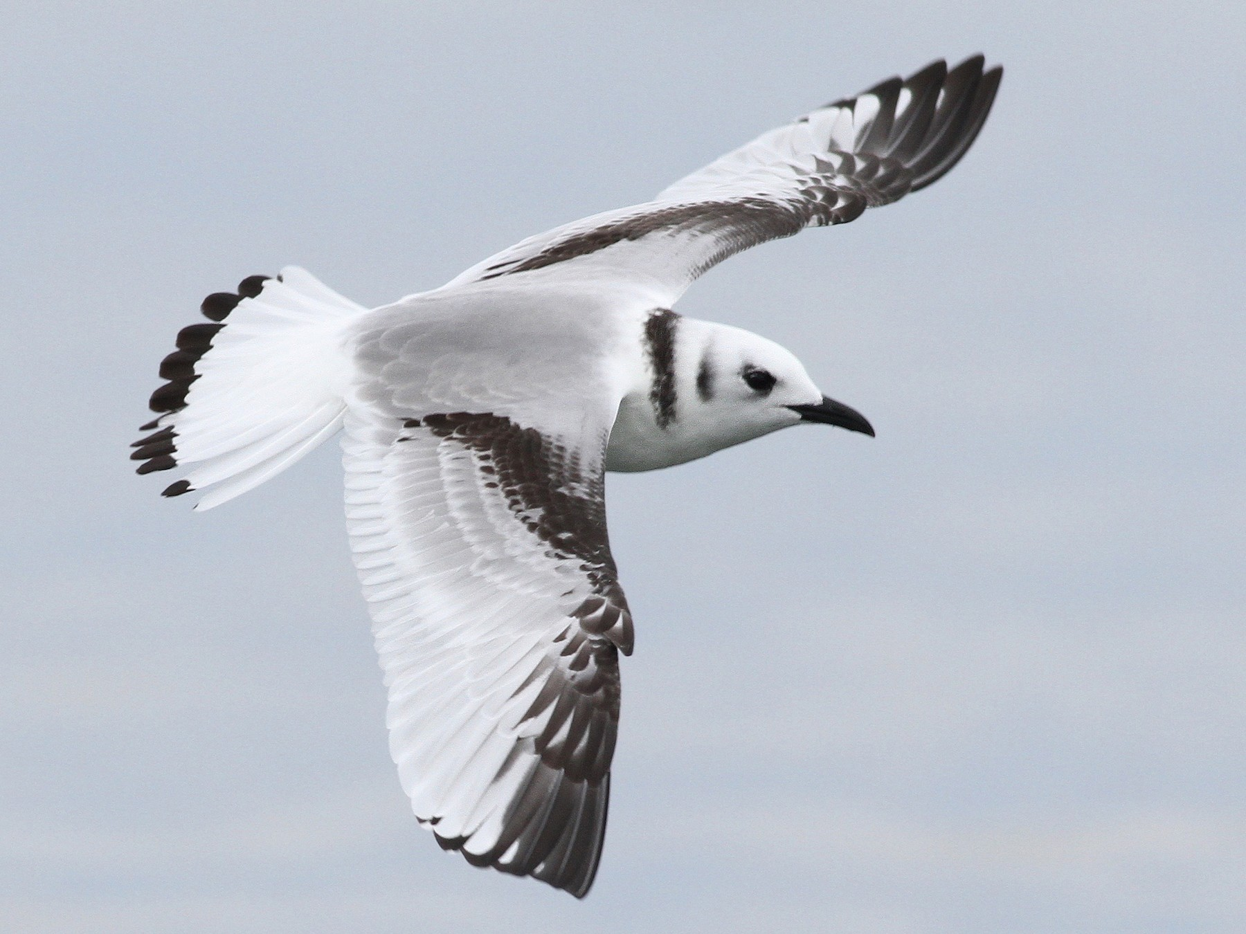 Black-legged Kittiwake - Evan Lipton