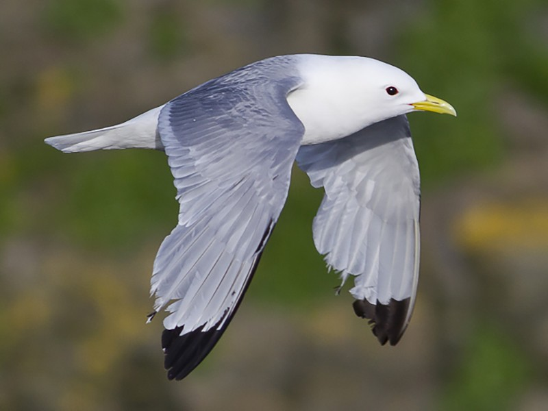 Black-legged Kittiwake - Dorian Anderson