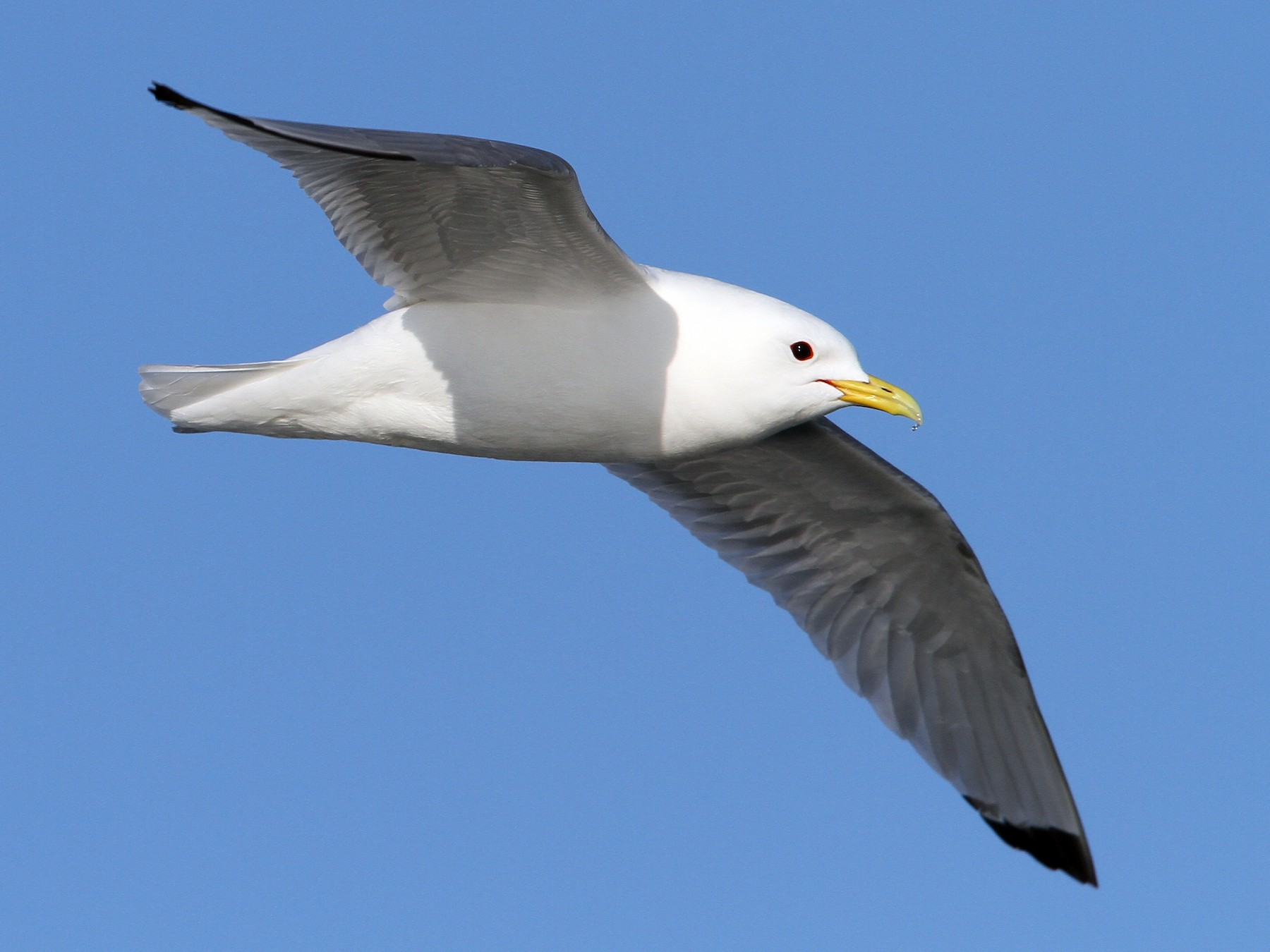 Black-legged Kittiwake - Christoph Moning