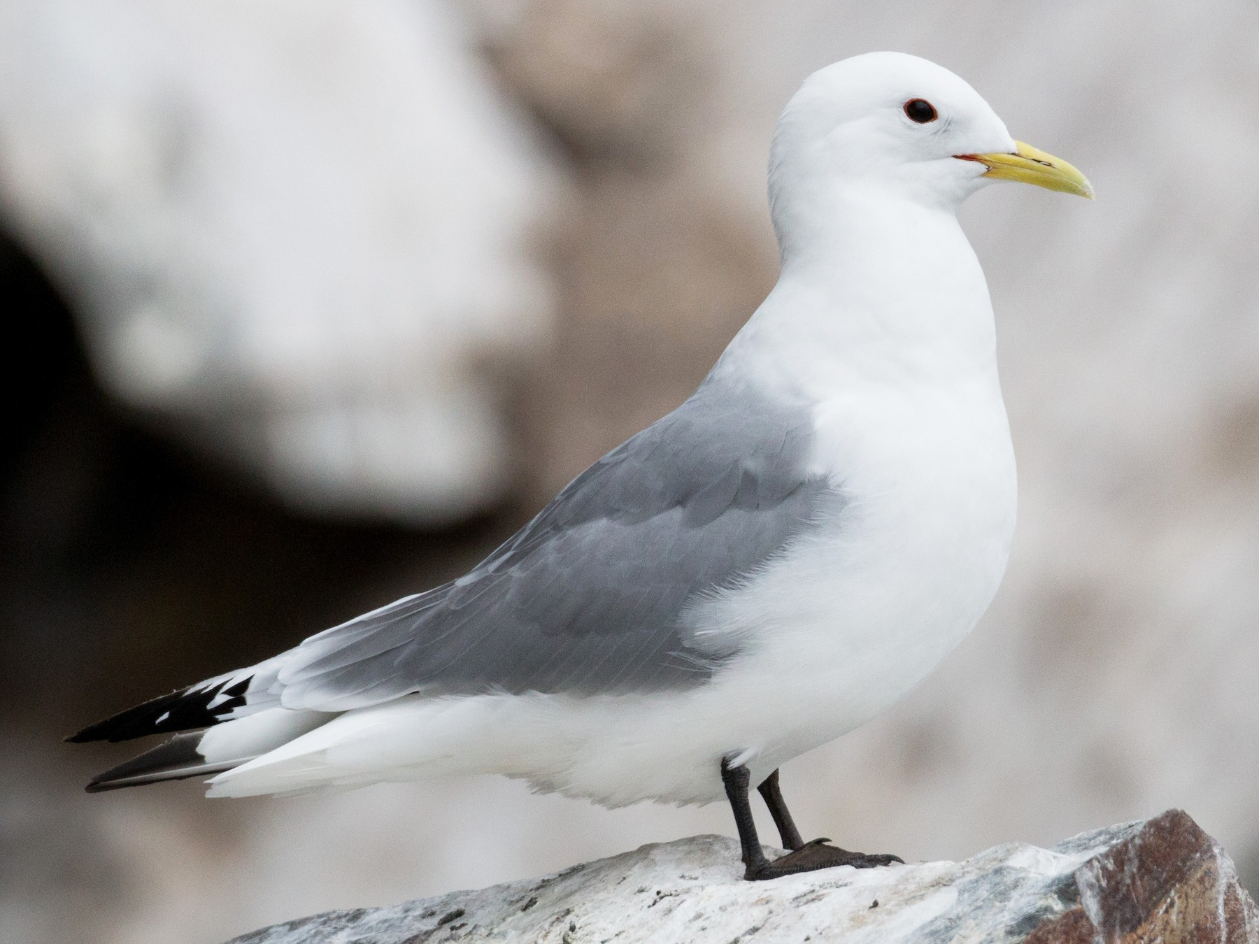 Black-legged Kittiwake - Ian Davies