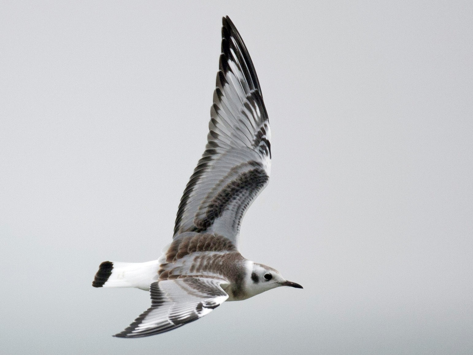 Bonaparte's Gull - Brandon Holden