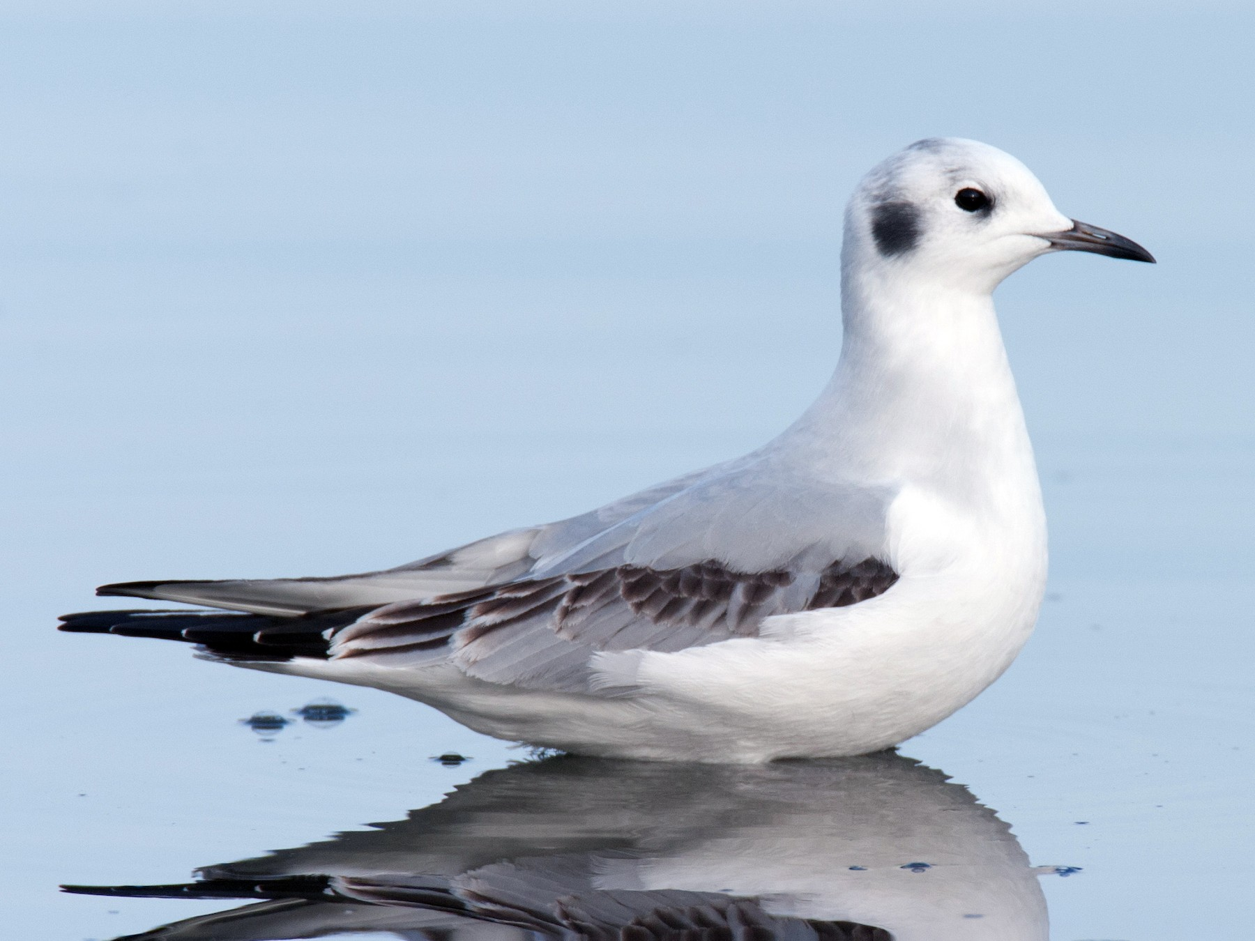 Bonaparte's Gull - Anonymous eBirder