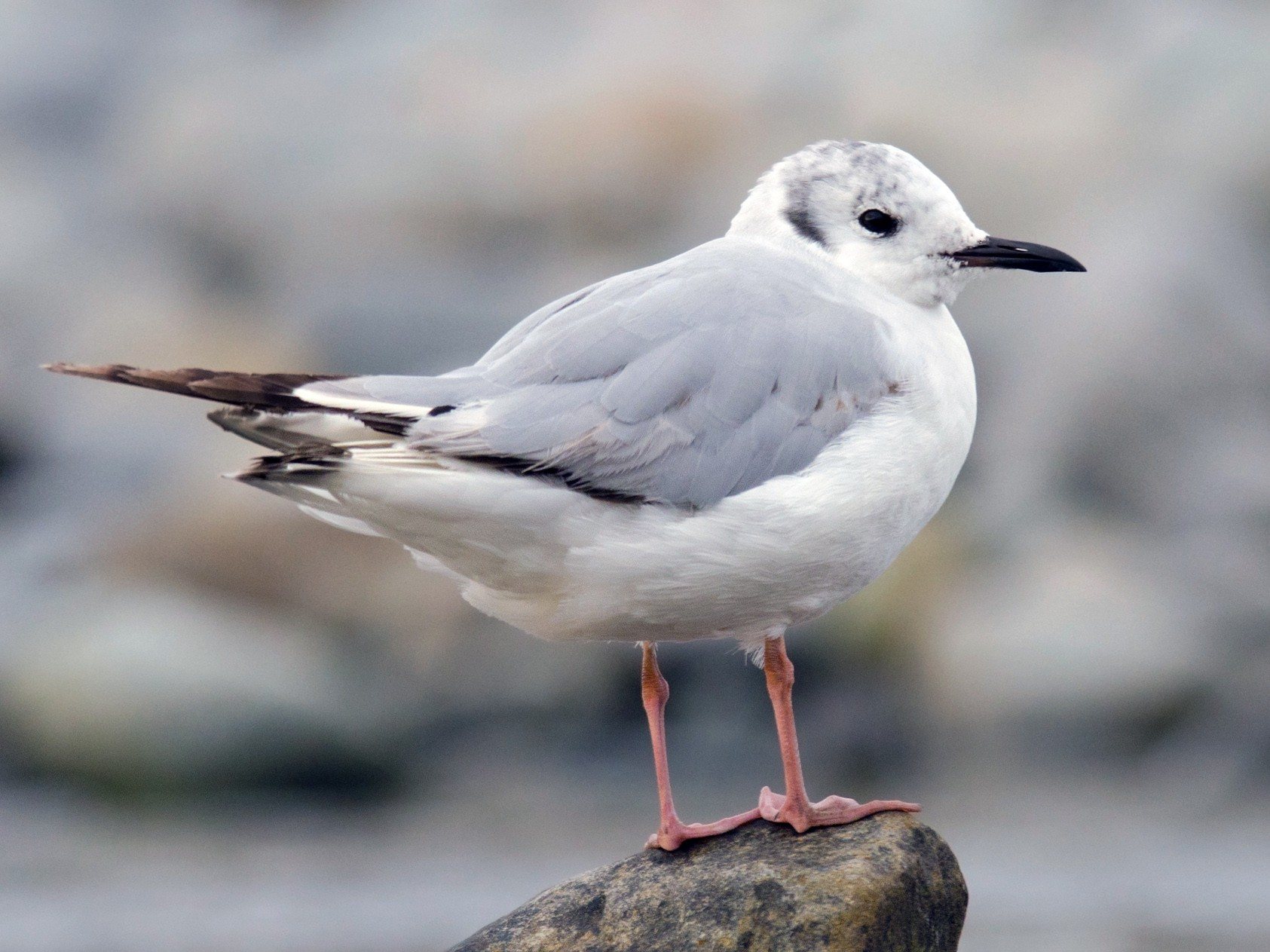 Bonaparte's Gull - Alix d'Entremont