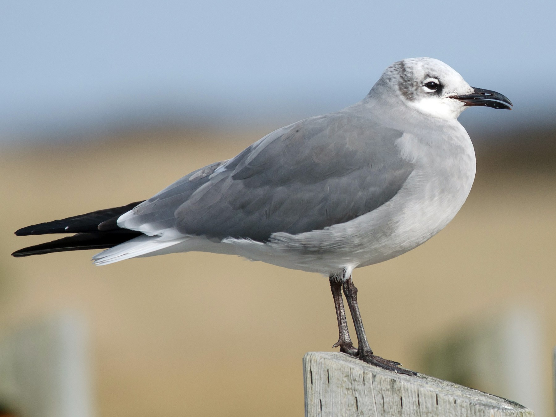 Laughing Gull - Alix d'Entremont