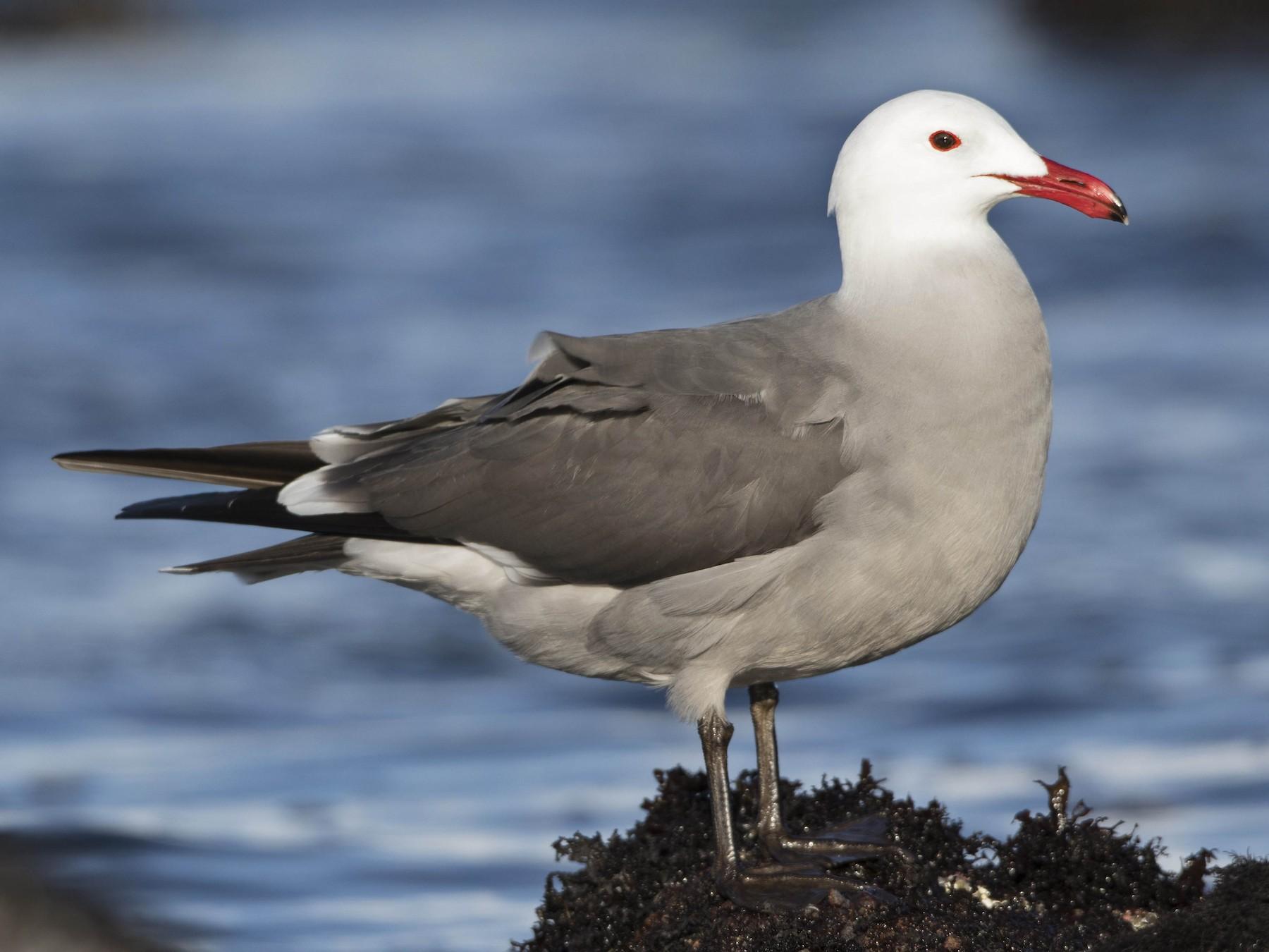 Heermann's Gull - Brian Sullivan