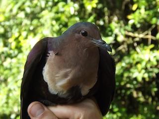 - Shy Ground Dove