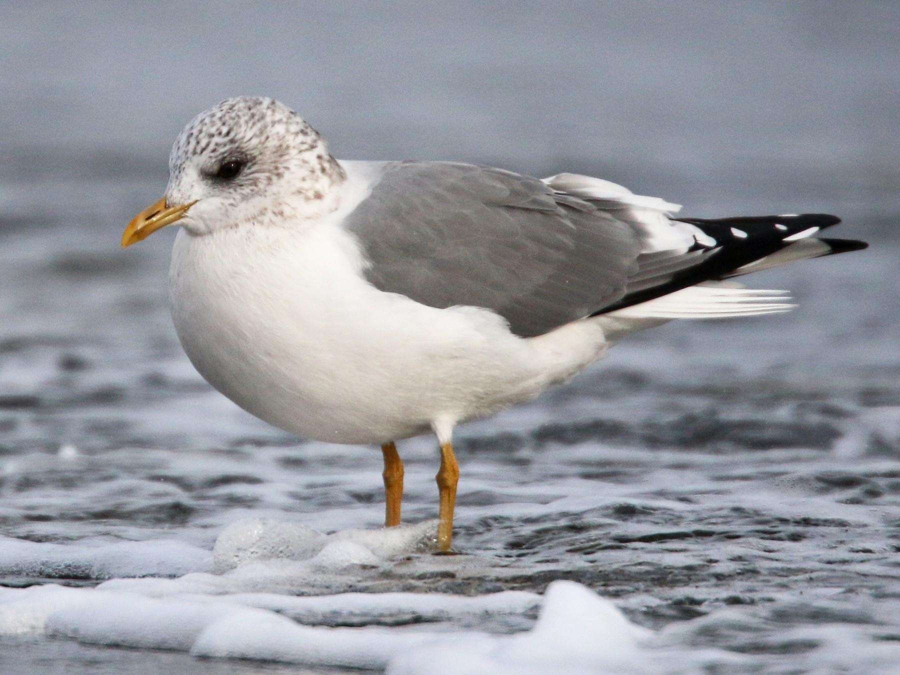 Mew Gull - Ian Davies
