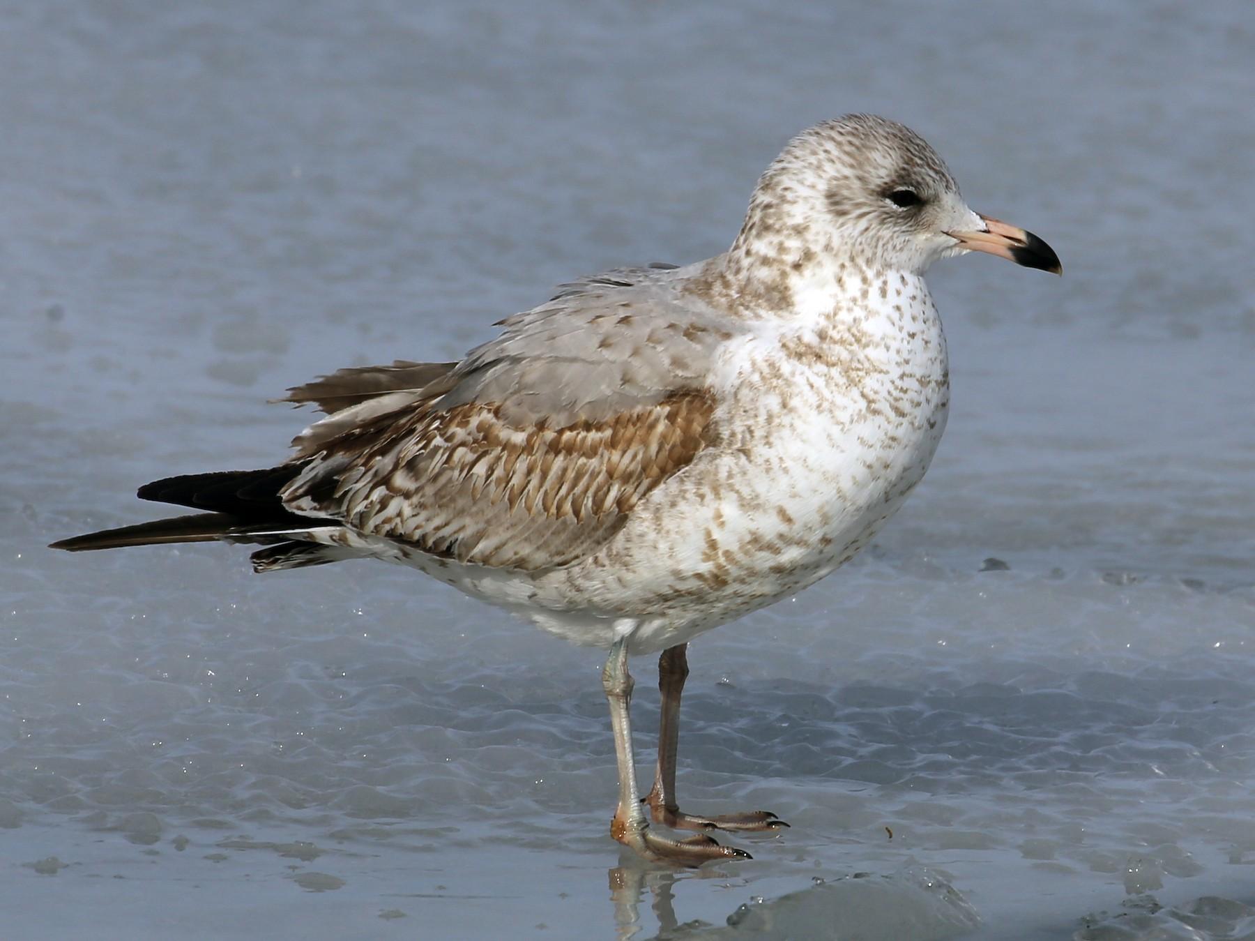 Ring-billed Gull - Brad Walker