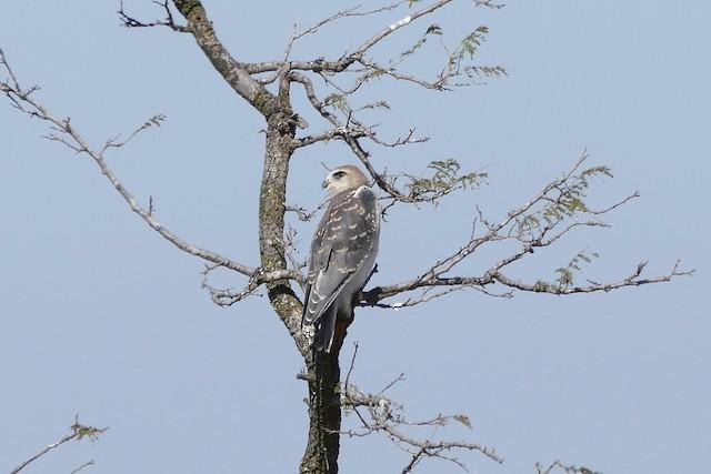 Black-winged Kite (African)