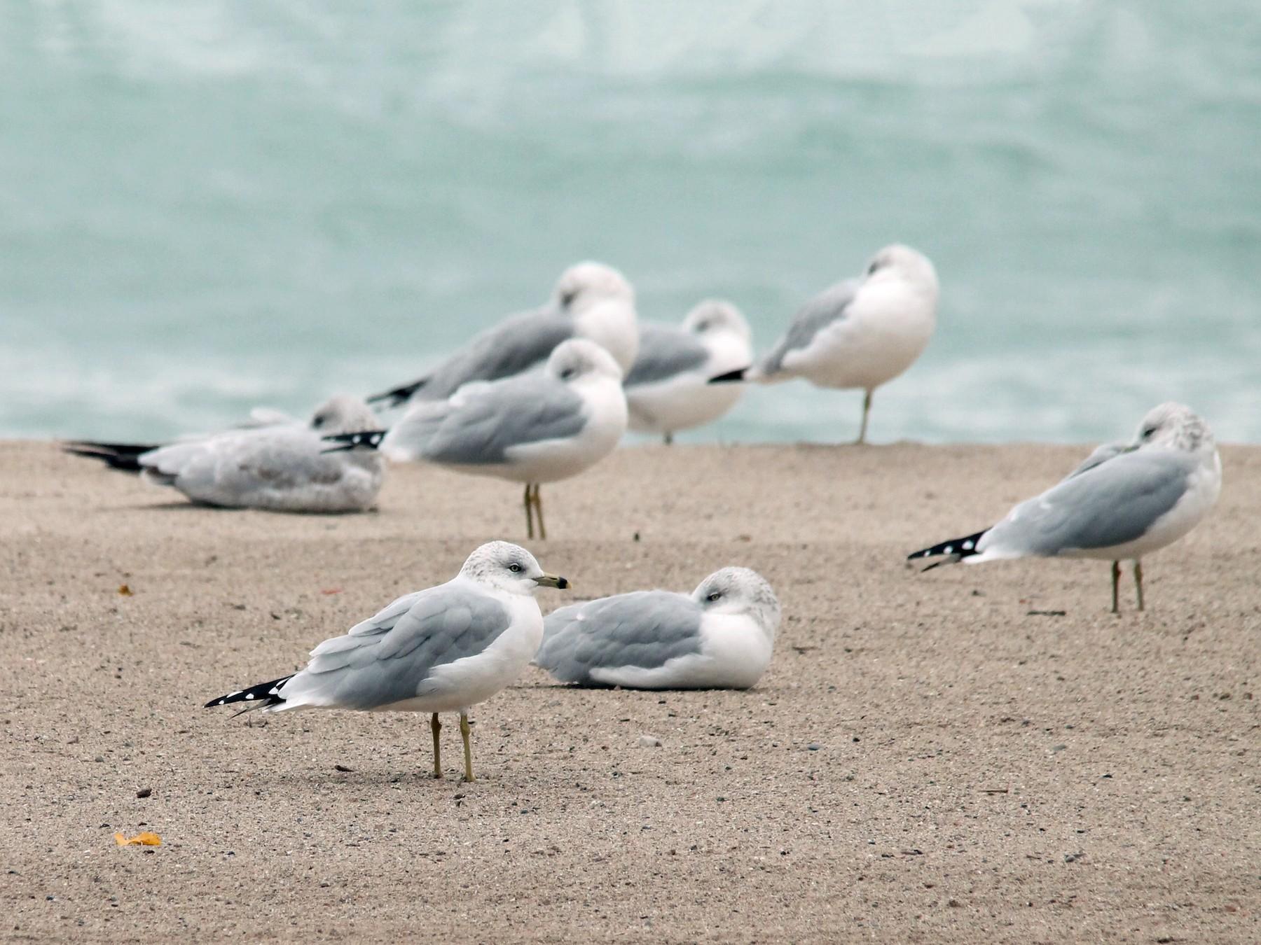 Ring-billed Gull - Mark  Benson