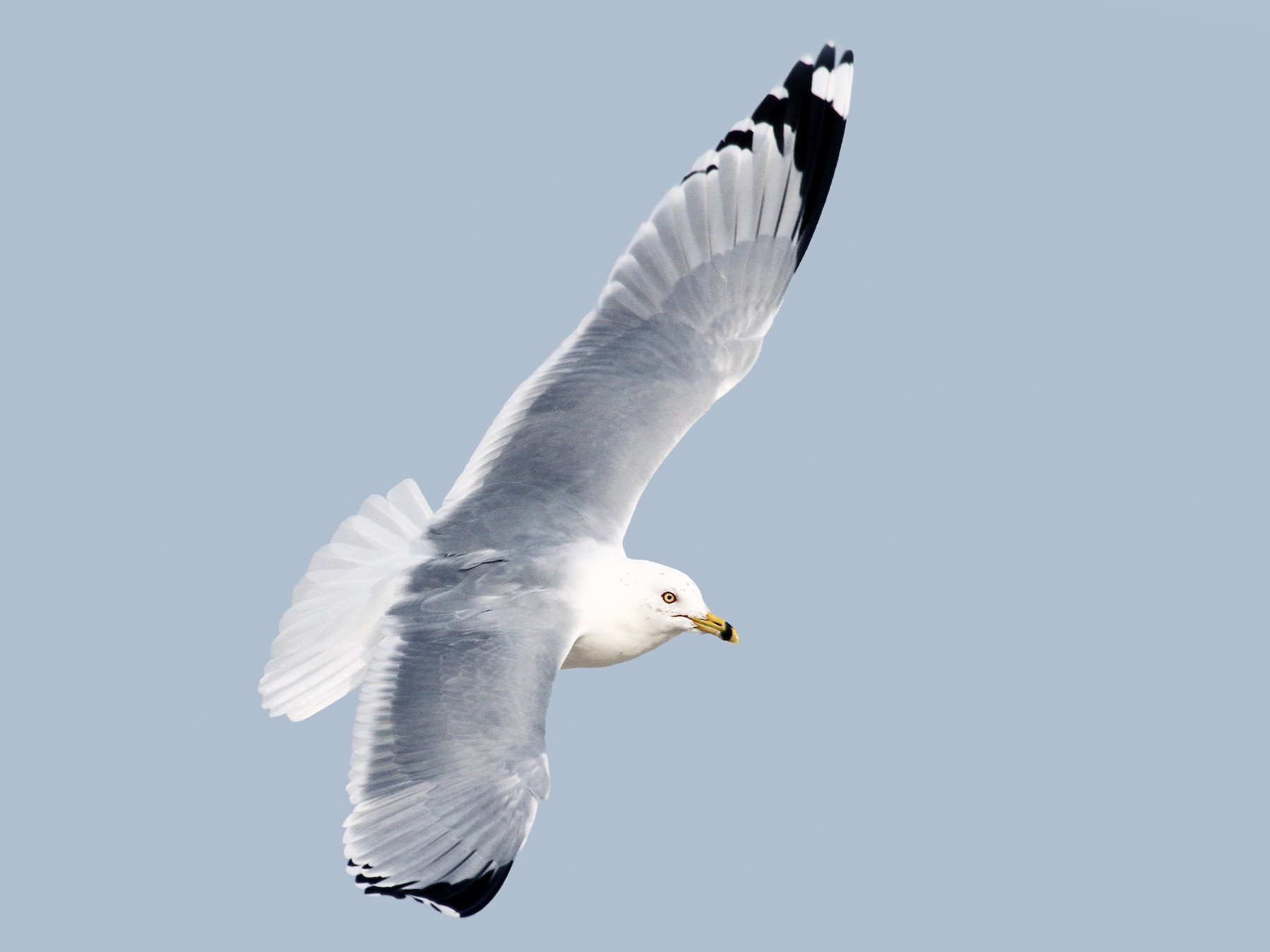 Ring-billed Gull - Ryan Schain