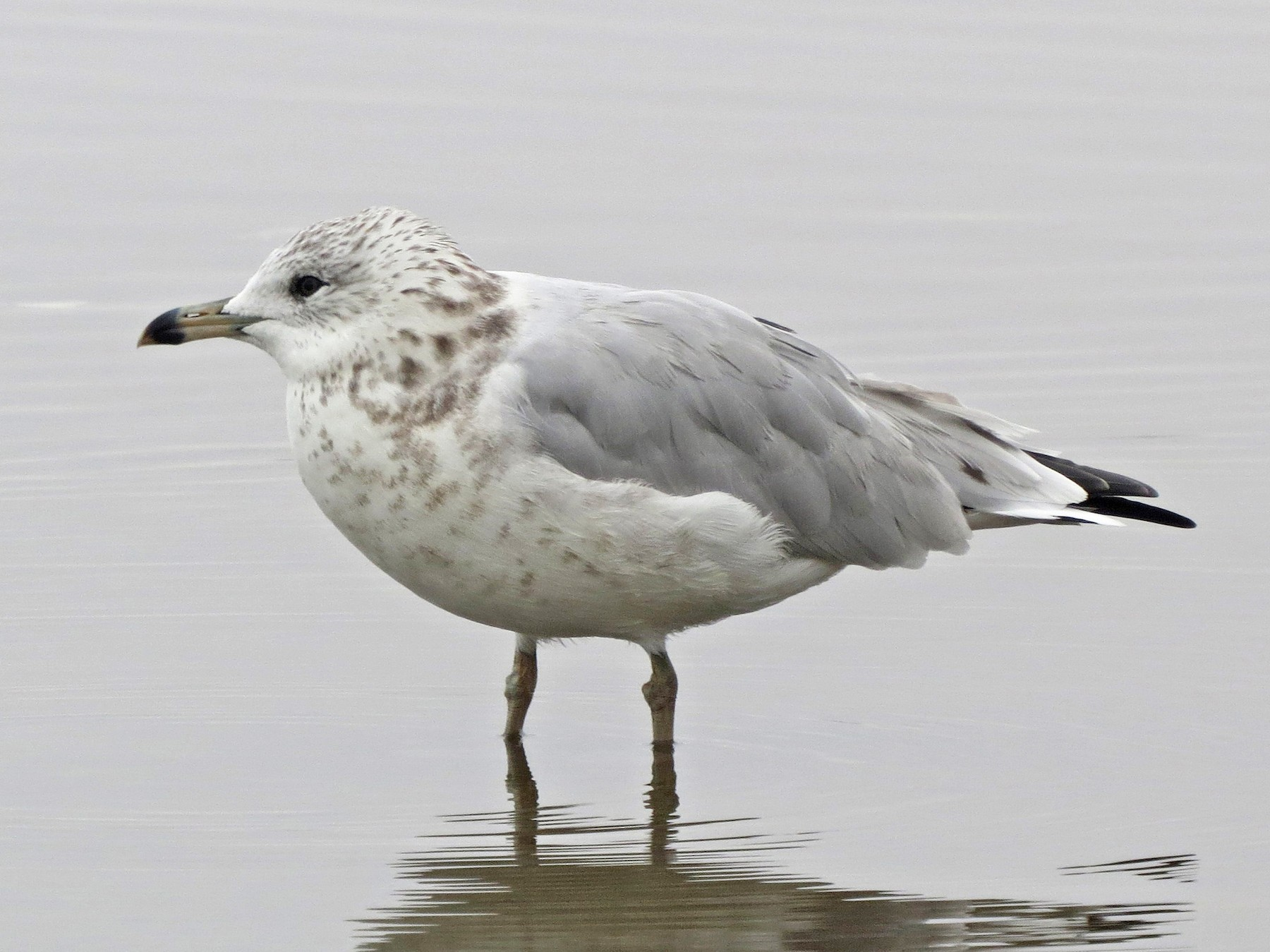 Ring-billed Gull - Tom Edell