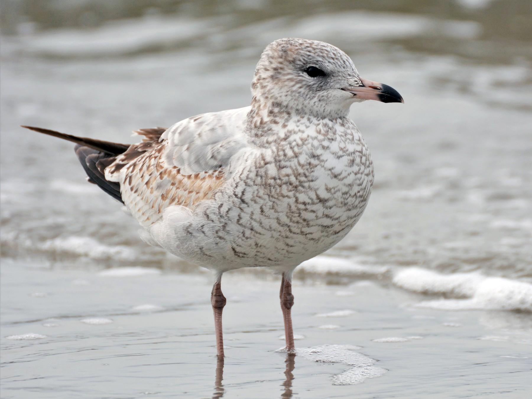 Ring-billed Gull - Patrick Maurice