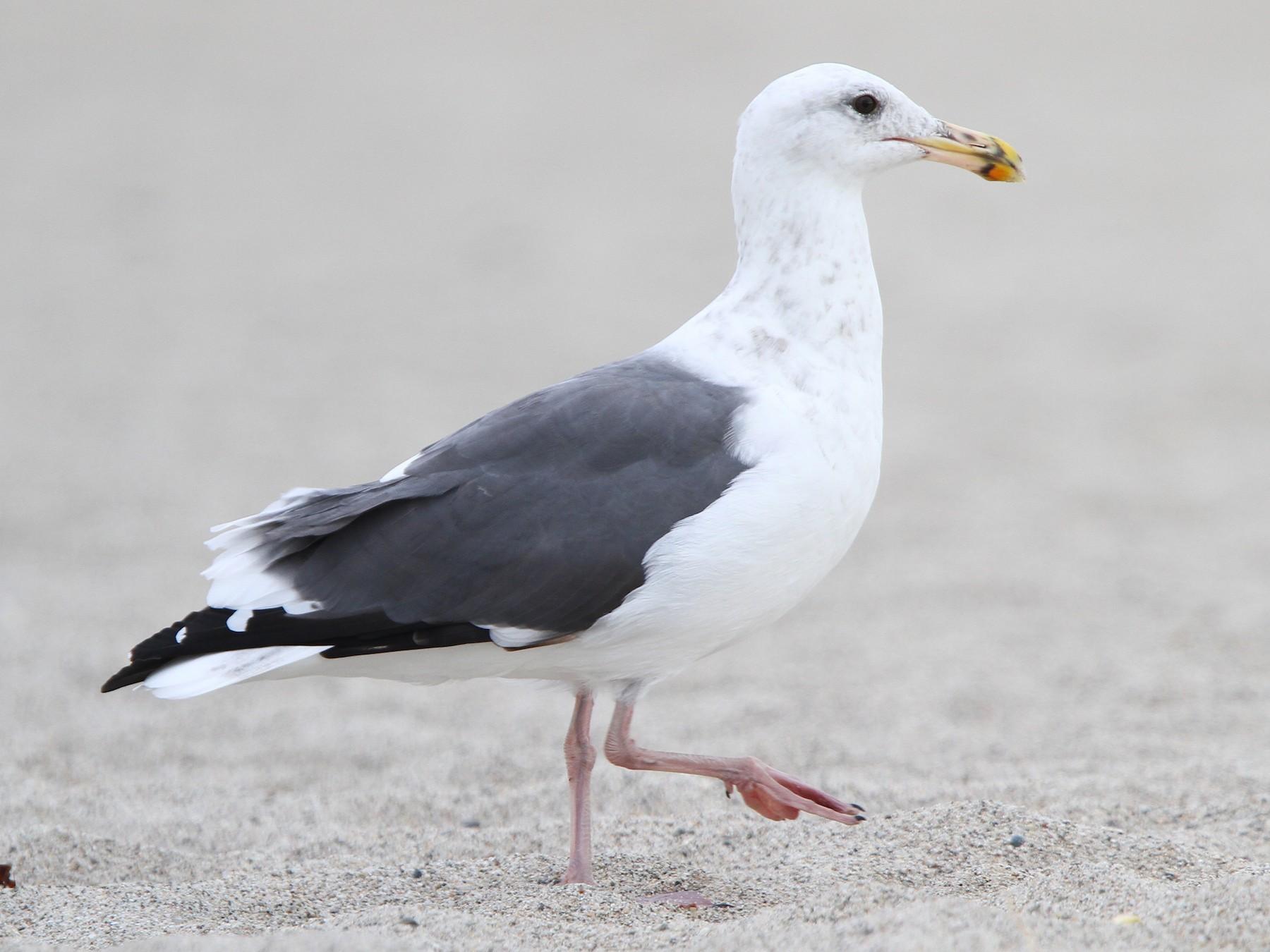 Western Gull - Christoph Moning