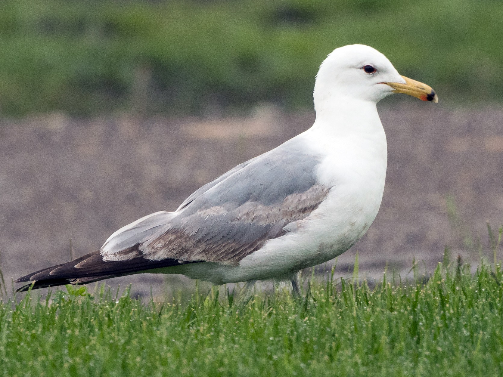 California Gull - Ian Routley