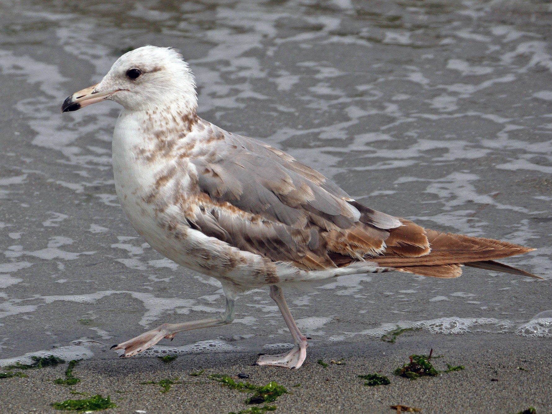 California Gull - Grace Oliver