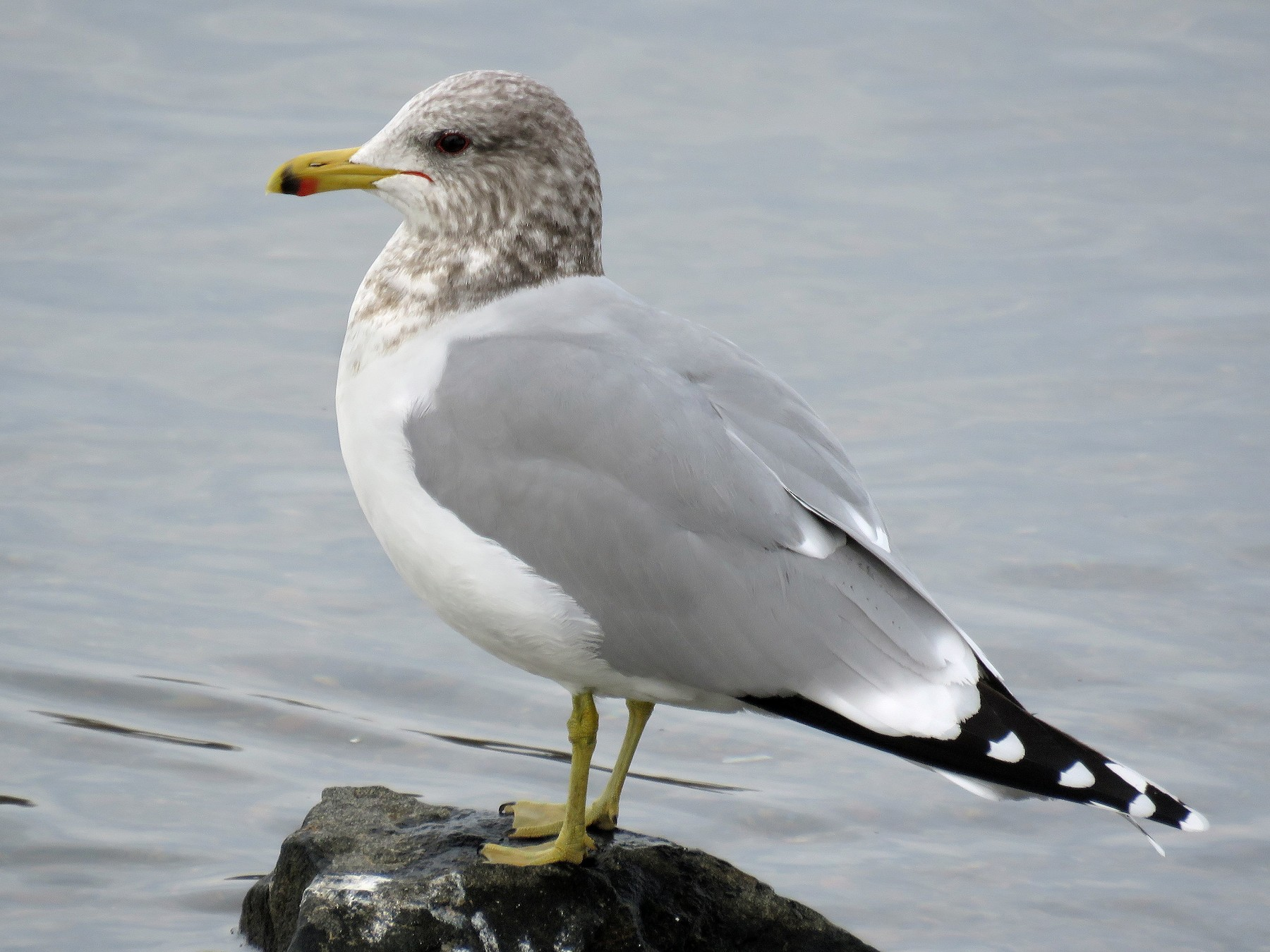 California Gull - Ben Bright