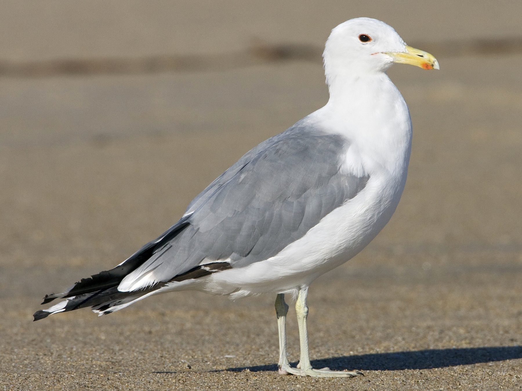 California Gull - Brian Sullivan