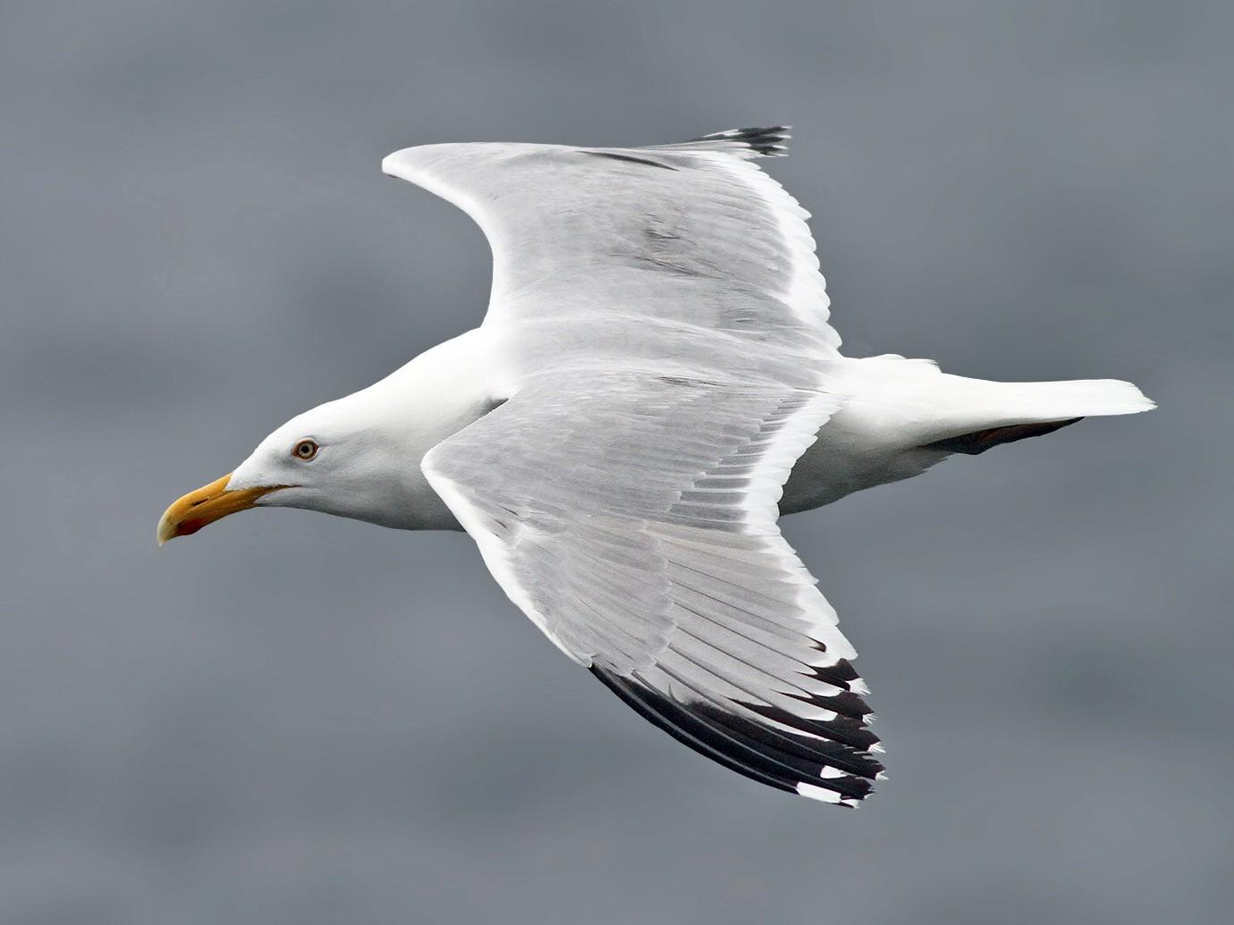 Herring Gull - Jeremiah Trimble