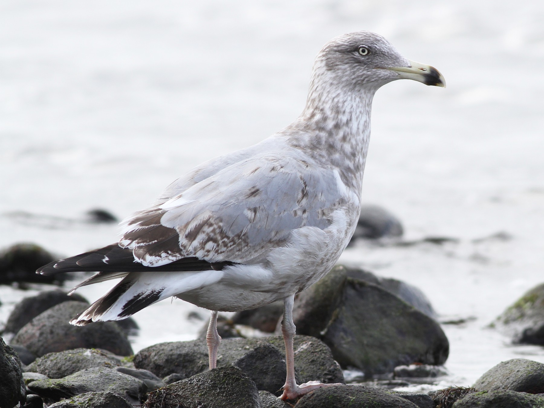 Herring Gull - Evan Lipton