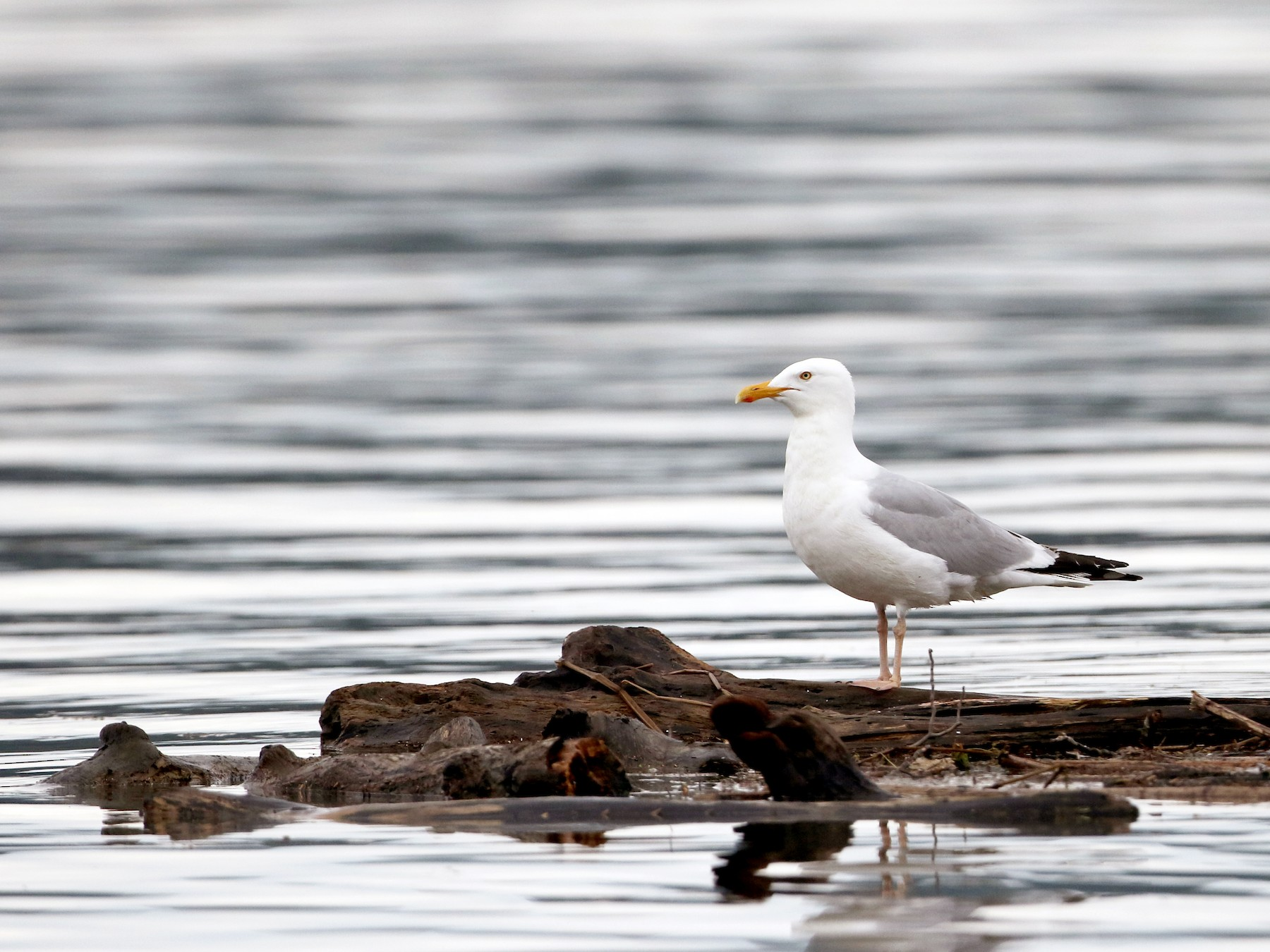Herring Gull - Jay McGowan