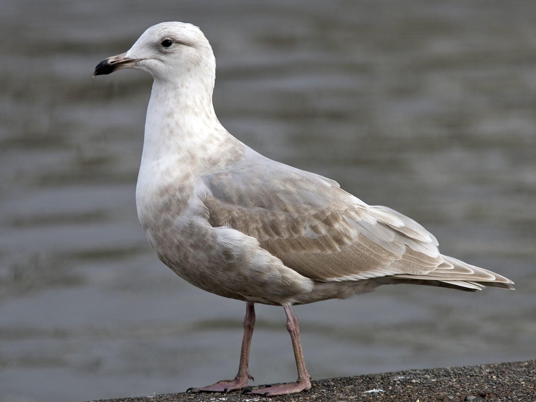 Glaucous-winged Gull - Brian Sullivan